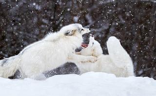 Foxy Fight