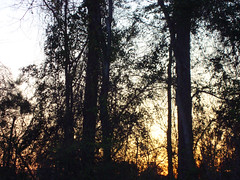 Trees. (dccradio) Tags: lumberton nc northcarolina robesoncounty outdoors outside nature natural sony cybershot dscw230 thursday thursdayafternoon afternoon plant sunset evening lateafternoon sky tree trees branch branches treebranches treelimbs