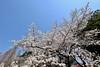 IMG_5773 (digitalbear) Tags: canon eos6d sigma 14mm f18 dg art shinjku gyoen sakura cherry blossom blooming hanami tokyo japan