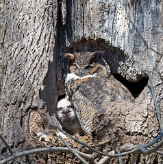 Great horned owl with chick! (WhiteEye2) Tags: greathornedowl chick owlet wildlife nature pennsylvania owls birds nest pa