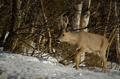 rådyrbukk (KvikneFoto) Tags: rådyr roedeer natur norge hedmark kvikne vinter winter snø snow tamron bokeh nikon