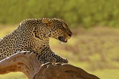 Luce al Leopardo (FabioVegetti) Tags: safari kenya wild wildlife africa samburu
