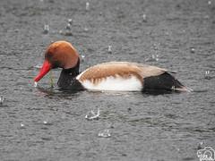 Sivert (Elías Gomis) Tags: pato duck netta rufina sivert lluvia rain aves birds eliasgomis ngc
