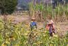back from working (David Mulder) Tags: myanmar burma nyaungshwetownship inlelake workers shanstate myanmarburma iso31662mm