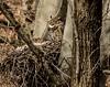 Nap time . . . (Dr. Farnsworth) Tags: birds owls owl greathornedowl nest beech tree snooze nap gvsu jenison mi michigan spring april2018