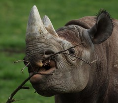 Nothing more tasty than a fresh stick! (joannekerry) Tags: blackrhino rhinoceros rhino yorkshirewildlifepark wildlife canon nature