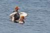 Krooneend - Natta Rufina (wimberlijn) Tags: krooneend nattarufina duikeend eend watervogel vogel natuur reeuwijkseplassen redcrestedpochard duck waterbird bird nature wildlife animal outdoor coth coth5