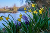 hesitant spring (scottprice16) Tags: england lancashire clitheroe waddington river riverribble ribblevalley flowers plants dew morning march spring 2018 colour daffodil crocus sunshine leica leicaxvario outdoors