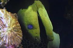 Eel (Adventurer Dustin Holmes) Tags: 2018 wondersofwildlife nationalmuseumandaquarium nationalmuseumaquarium eel animals aquatic oceanlife oceananimal oceananimals green creepy sealife seacreatures creatures creature