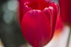 Spring Colors (milton sun) Tags: april tulip filoli green garden field macro tulips flower bokeh spring