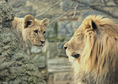 Time to annoy the Old Man (Judecat (Ready for Spring!)) Tags: bigcat felines lioncub africanlion zoo philadelphiazoo makini