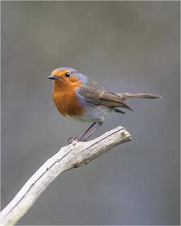 Robin - Erithacus rubeculan