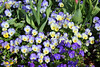 dallas blooms 2018 10 (reluctant_paladin) Tags: dallas texas arboretum blooms flowers garden spring 2018 tulips