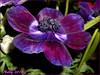 *Monday... (MONKEY50) Tags: 172017 art digital anemone blue purple nature spring colors pentaxart