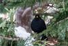 Blackbird / Svarttrost (Sigurd R) Tags: bird blackbird brushes commonblackbird fugl norge norway shrubs spring svarttrost trees trost turdusmerula akershus no