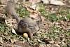Squirrel (Ichigo Miyama) Tags: 井の頭自然文化園のリス zoo squirrel 井の頭自然文化園 動物園 リス 東京 tokyo井の頭自然文化園 guineapig tokyo