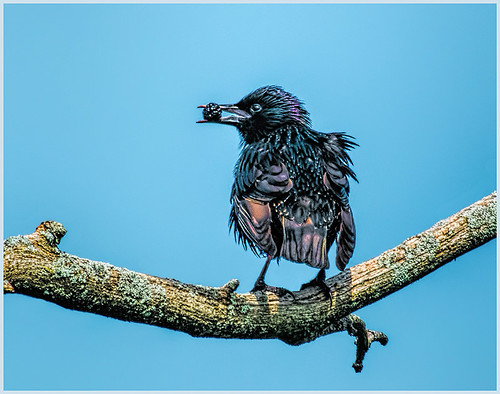18 - European Starling with Berry