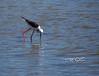 Probing for fish (A. K. Hombre) Tags: whiteheadedstilt himantopusleucocephalus aves bird animal mangrove wetland iloilo dumangas water stilt wader brackish charadriiformes piedstilt canon powershotsx530hs zoom