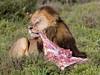 Lion Tearing at wart hog (jimbobphoto) Tags: cat kill chomp lion africa bacon breakfast wildlife