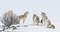 Morning Choir (kpgoldman.nature) Tags: mammals wild wildlife nature natural song singing yipping coyote coyotes yellowstone wyoming 2018 february d500 nikon 600mm f11 snow winter morning lamarvalley kengoldmanphotography