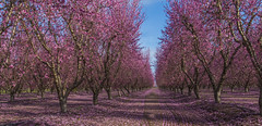 blossoms (Jeff Carnie Photography) Tags: centralvalley orchards floweringtrees appleblossom