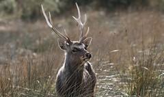 Sika Deer at Arne - Dorset 080318 (1) (Richard Collier - Wildlife and Travel Photography) Tags: wildlife naturalhistory mammals deer sikadeer british dorsetwildlife dorset rspbarne stag nature coth5