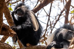 Chale is the height of relaxation for all our guests - and even our Colobus monkeys. These striking animals abound in the island's ancient trees. #wildlife #islandlife #whyilovekenya (The Sands Kenya) Tags: beach island kenya africa indian ocean diani