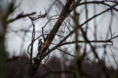 Working Woodpecker (NaturaRAW) Tags: 2018 animal bird canonef100400mmf4556lisusm canoneos7dmarkii dendrocoposmajor djur färgelanda fågel greatspottedwoodpecker hackspett knappstakan natur störrehackspett wildbird wildlife