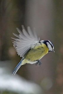 Blue-tit in flight...
