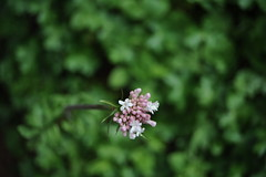 (Marwanhaddad) Tags: nature flower macro spring lebanon