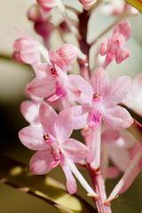 Vanda 'Miss Joaquim' 菲律賓萬代蘭 (Cathy's Photography) Tags: orchids orchid pink pinkflower pinkflowers outdoor outside vanda canon canon5dmarkiv canon5d markiv ef100mmmacro ef100mmmacrolens ef100mm closeup closeupflower macro