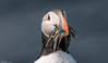 Puffin and catch (Steve (Hooky) Waddingham) Tags: animal sea summer countryside coast cliffs bird british nature northumberland photography fishing wild wildlife
