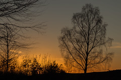 Birke (leviranger) Tags: pfalz birke baum pfälzerwald wald bäume sonne sonnrnuntergang goldenestunde canon eos80d eos mittelgebirge natur goldenhour palatinate wood tree