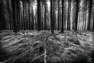 Bellever Forest - Dartmoor