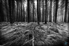 Bellever Forest - Dartmoor (pm69photography.uk) Tags: bellever belleverforest devon dartmoor forest woods trees tree southwest sony spooky sonya7rii sony1635mm28 1635mmf28 ilce7rm2 sonycamera bw blackandwhite a7rii atmospheric atmosphere a7r2