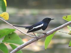 Copsychus saularis (dhobern) Tags: 2018 aves china copsychussaularis march passeriformes xtbg xishuangbanna yunnan muscicapidae