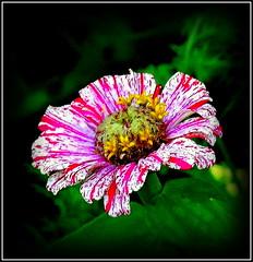 Natural Wonder (dimaruss34) Tags: newyork brooklyn dmitriyfomenko image flower dahlia