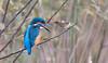 Kingfisher (Steve (Hooky) Waddingham) Tags: animal bird british blue nature countryside fishing fish dive photography wild wildlife river pool pond