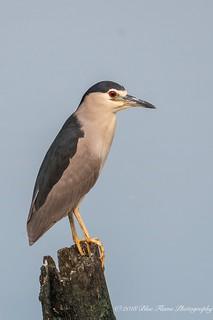 Black-crowned Night Heron ©
