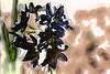 Narcisos (seguicollar) Tags: imagencreativa photomanipulación art arte artecreativo artedigital virginiaseguí flor flower naecisos negros bokeh impresionistas