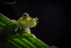 Rana Palmera/ Palmar tree-frog (Boana pellucens) (Jacobo Quero) Tags: boanapellucens palmartreefrog ranapalmera amphibia anfíbio herping mindo ecuador cloudforest green animal nature naturaleza wildlife