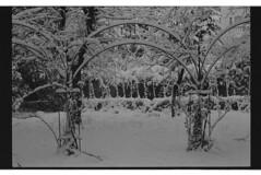 P60-2018-011 (lianefinch) Tags: argentique argentic analogique monochrome blackandwhite blackwhite bw noirblanc noiretblanc nb nature analog jardin garden hiver winter snow neige frozen gelé arceaux arches