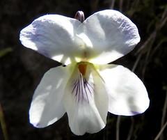 IMG_0052x (gzammarchi) Tags: specialexbarbara italia paesaggio campagna natura montagna firenzuolafi stignano fiore viola colore bianco