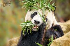 Panda Xing Ya (Amanda Blom Photography) Tags: panda animal animalshoot animalportrait animalphotography bigpanda pandabeer bear blackwhite green zoo dierentuin bamboo
