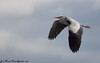 Bernat pescaire (José Manuel, thanks for +450,000 views) Tags: ardeacinerea garzareal bernatpescaire greyheron utxesa aves aus ocells pájaros birds oiseaux