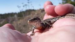 Håll huvudet högt (tusenord) Tags: fotosondag ödla skogsödla zootocavivipara fs180408 skonhet reptiler lizard reptilian viviparouslizard commonlizard