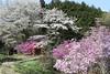 Mountain of Cherry and Azalea Blooming (seiji2012) Tags: 桜 ツツジ 五日市 鳥居 akiruno torii gate