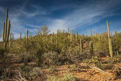 Saguaro Cactus landscape (Turk Images) Tags: saguaronationalparktucsonmountaindistrict arizona cactus desert landscape tucson winter