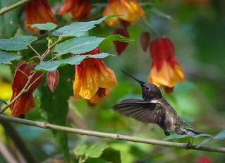 Black-chinned Hummingbird Descanso Garden Springtime  253