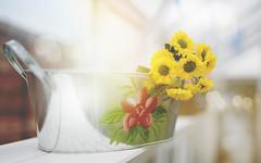 Pot of Gold... (KissThePixel) Tags: gold yellow flower flowers daisy yellowrose pot potofgold light bokeh macro bokehlicious april spring tuesday garden greenhouse grownwithlove beautiful love gardener nikon nikond750 50mm f14